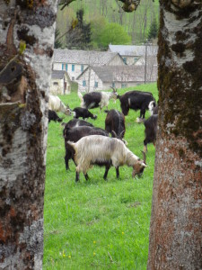 french goats grazing